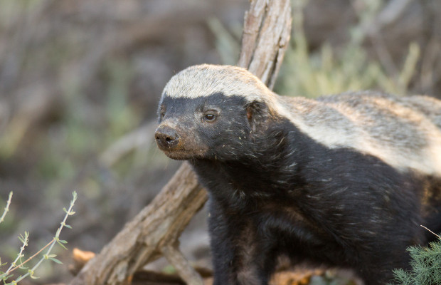 Honey badger does care: YouTube user files trademark lawsuit